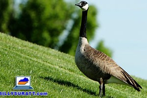 What's good for the goose is good for the gasser