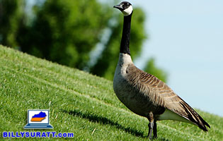 Picture of a Canada Goose.